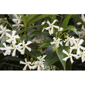 'Star' Jasmine Vine, 5 Gallon Pot
