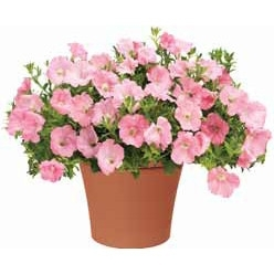 Assorted Varieties of 8'' Flowering Annuals $6.99