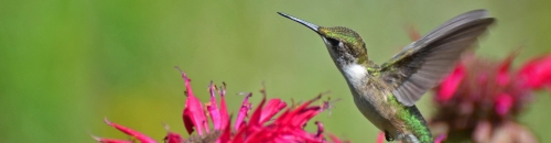 Attract Hummingbirds to Your Yard